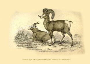 American Argali, or Rocky Mountain Sheep (Ovis montana) Native of North Africa